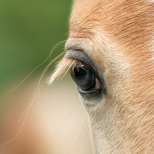 Pferdeauge Nahaufnahme