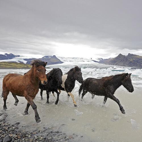 Islandpferde Tölt