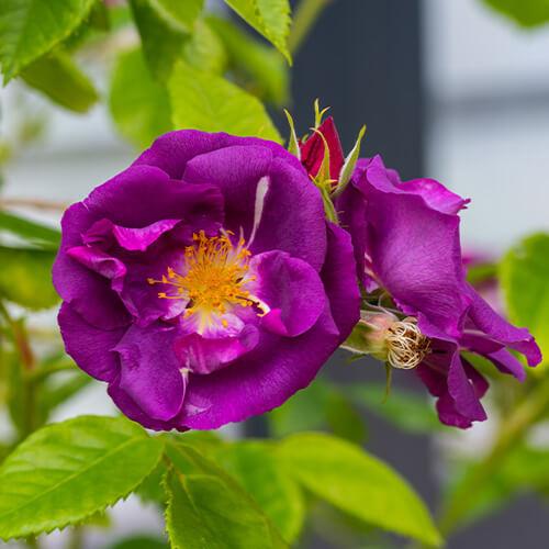 Alte Rosensorte
