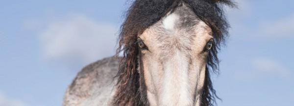 curly-horse-fullsize1